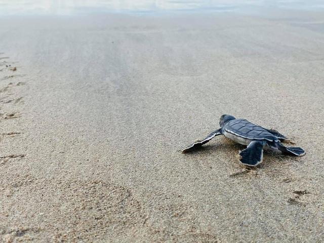 Ông Trịnh Văn Quyết kể khoảnh khắc thả rùa con về biển: trải nghiệm kỳ thú bậc nhất tại Côn Đảo - Ảnh 4.