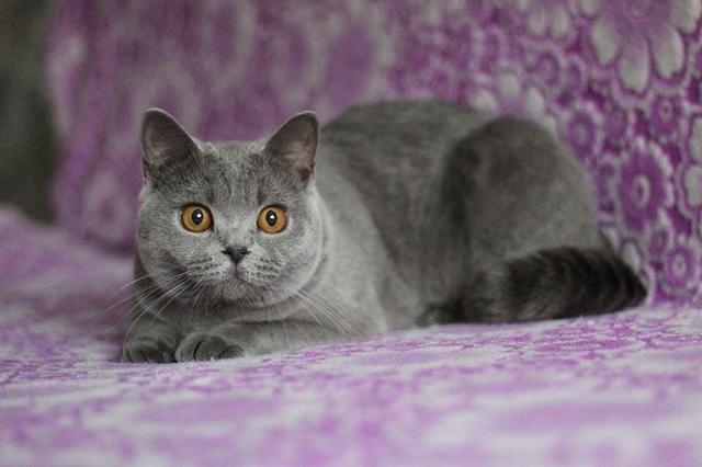 Mèo Anh lông ngắn và trào lưu nuôi mèo cưng - Ảnh 1.