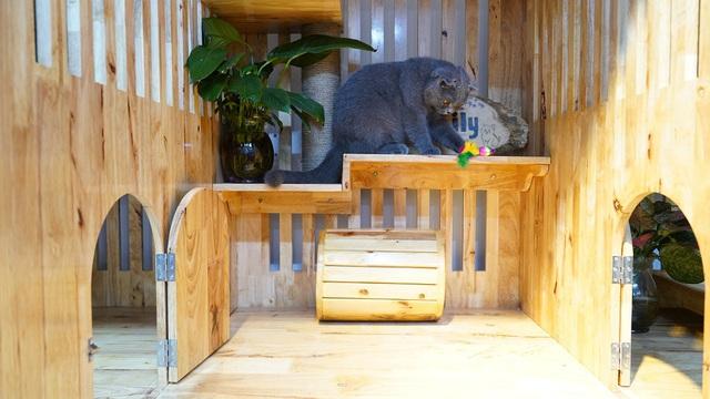 Mèo Anh lông ngắn và trào lưu nuôi mèo cưng - Ảnh 2.