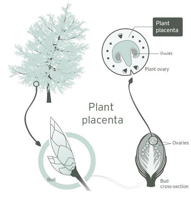 Trẻ hóa làn da với mỹ phẩm chiết xuất từ tế bào gốc noãn thực vật: Khái niệm mới mà không mới! - ảnh 2