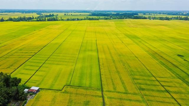A An ra mắt gạo ST25 đặc sản Sóc Trăng - Ảnh 1.