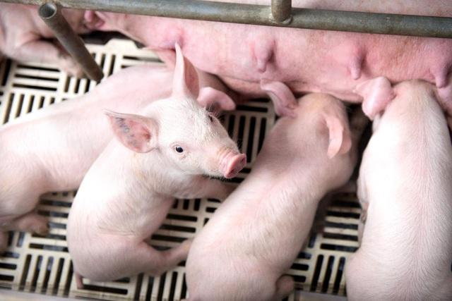 Tín hiệu tốt của ngành chăn nuôi: Hơn 2.400 heo giống GF24 chất lượng cao được xuất khẩu - Ảnh 1.