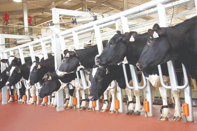 'Hậu trường' quy trình ở cụm trang trại bò sữa lớn nhất thế giới (Kỳ 2) - Ảnh 4.