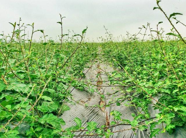 Tự trồng và chế biến dược liệu chữa bệnh – Những lầm tưởng tai hại - Ảnh 3.